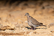 Collared Dove (Streptopelia decaocto) in the desert, Negev, Israel in June