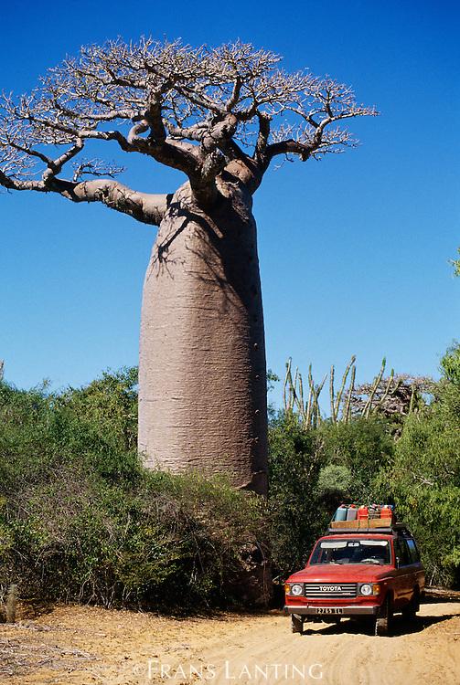 Car and baobab tree, Adansonia sp., Madagascar