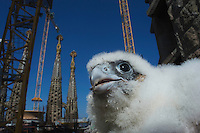 Peregrine falcon (Falco peregrinus) in Barcelona, nesting on the Cathedral of Gaudi the Sagrada familia.