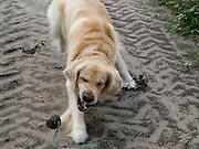 Golden Retriever Lemmy in einem Feld. Der Golden Retriever ist ein intelligenter, freudig arbeitender Hund, dem auch extreme, nasskalte Witterungsbedingungen nichts ausmachen. Dem steht allerdings eine relativ starke Empfindlichkeit hinsichtlich hoher Temperaturen gegenüber. Grundsätzlich ist die Rasse ruhig, geduldig, aufmerksam und niemals aggressiv. <br /> <br /> Golden Retriever Lemmy during a walk in a field.