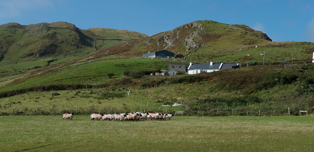 Clare Island Ram Fair &amp; Sheep Dog Trials.<br /> . Pic: Michael Mc Laughlin