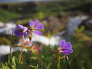 A fly buzzes around a wild geranium in South Iceland.