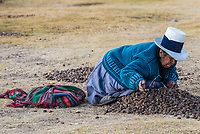 Chincheros, Peru - July 23, 2013: woman collecting moraya at Chincheros town in the peruvian Andes at Cuzco Peru on july 23, 2013