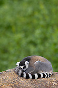 Ring-tailed Lemur (Lemur catta) sleeping on rocks in the Andringitra Mountains, vulnerable, south central Madagascar