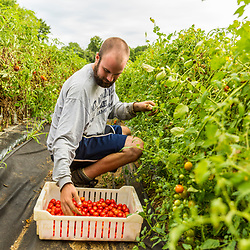 A man picks cherry tomatoes at Barker's Farm in Stratham, New Hampshire.