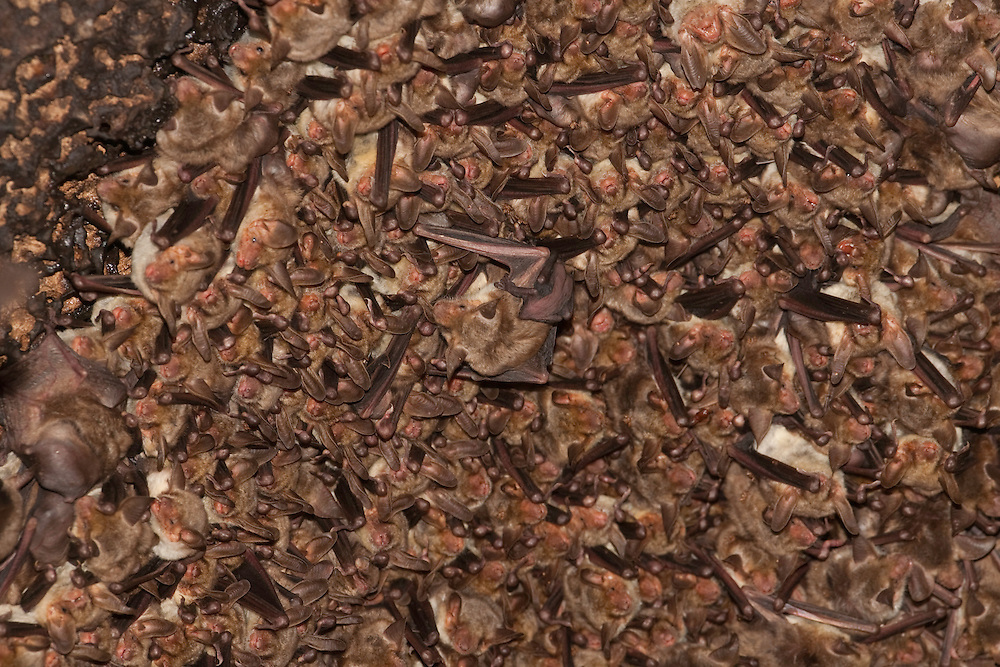 Maghrebian mouse-eared bat, Punisches Mausohr (Myotis punicus) Macomer, Nuoro, Sardinia, Italy
