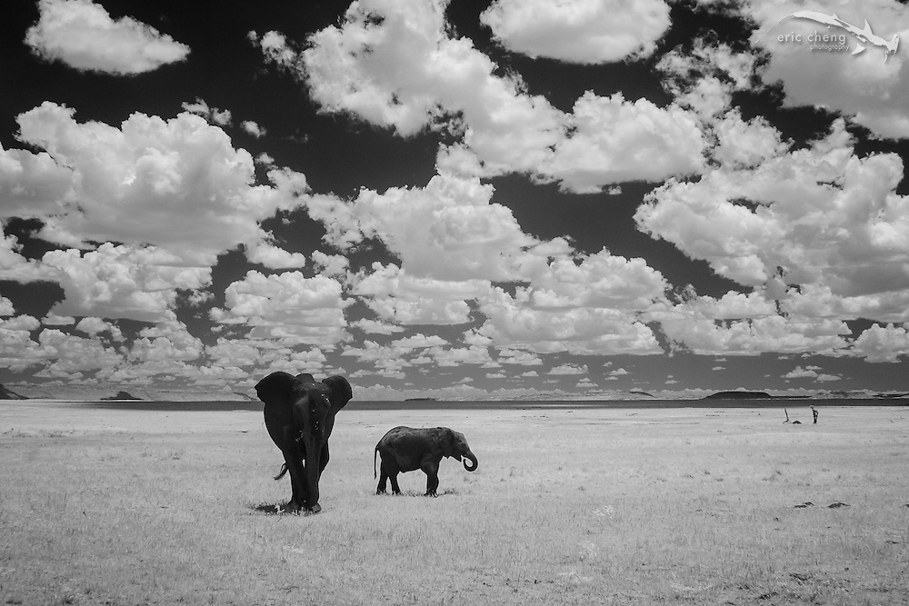 Two African bush elephant (Loxodonta africana) photographed in near-infrared, Serengeti, Tanzania