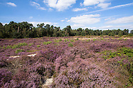 Europa, Niederlande, Limburg, Nationalpark De Maasduinen. Der Nationalpark ist einer der diversifiziertesten in den Niederlanden und umfasst unterschiedliche Naturraeume und Landschaftsformen, bluehende Besenheide (Calluna vulgaris). r-<br /> <br /> Europe, Netherlands, Limburg, national park De Maasduinen. The national park is one of the most diversified in the Netherlands and includes different natural spaces and landscapes, blooming common heather (Calluna vulgaris).