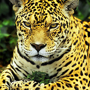 Adult jaguar staring at the world in Banos, Ecuador.