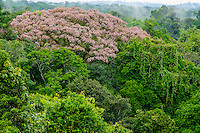 Amazon forest canopy, foliage and flowers; Yasuni National Park, Ecuador
