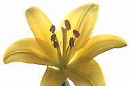 close up of tifer lily agaisnt white background