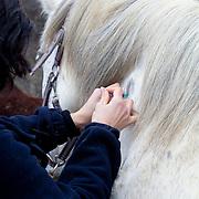 Veterinarian excamening a horse (Eqqus Caballus)