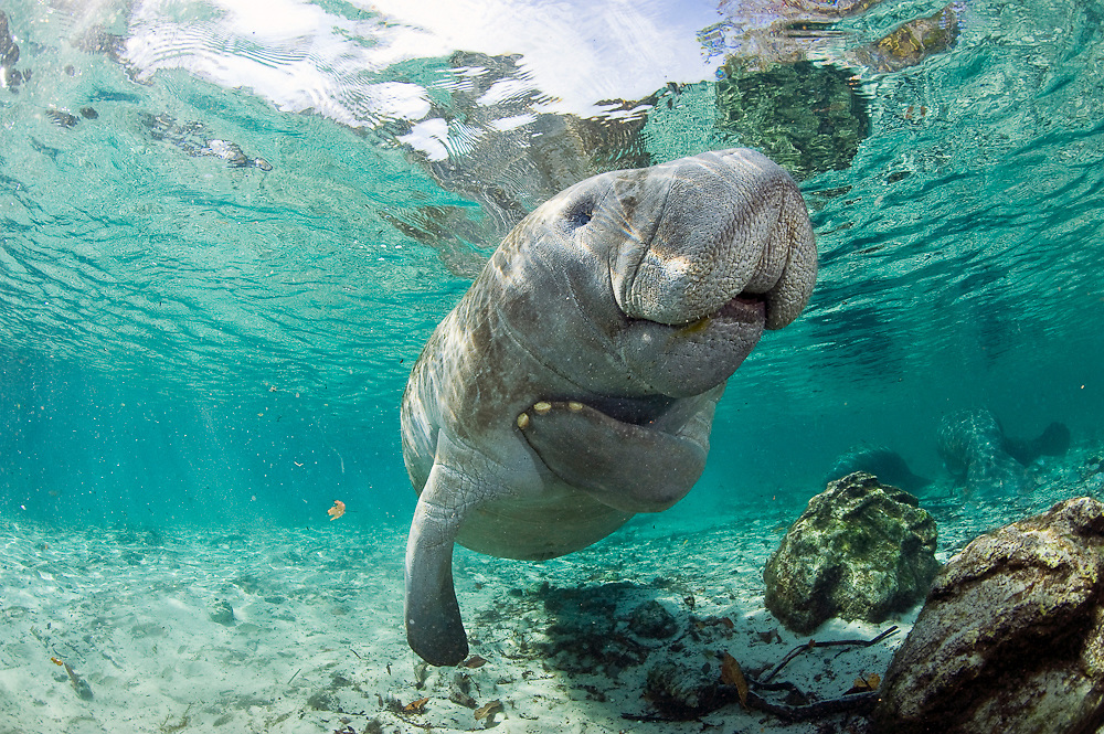 Endangered Florida Manatee (Trichechus manatus latirostris) in Three Sisters Spring in Crystal River, FL. Manatees and their dwindling habitat are under threat by unstoppable development in the state of Florida.