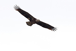 Immature American Bald Eagle in Flight.  Specimen is just getting the white feathers on its head.  Haliaeetus leucocephalus