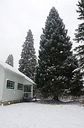 Engelmann spruce at the Historic Upper Ford Ranger Station that was chosen as the 2017 Capitol Christmas tree for the Capitol in Washington DC. Kootenai National Forest in the Yaak Valley, northwest Montana.
