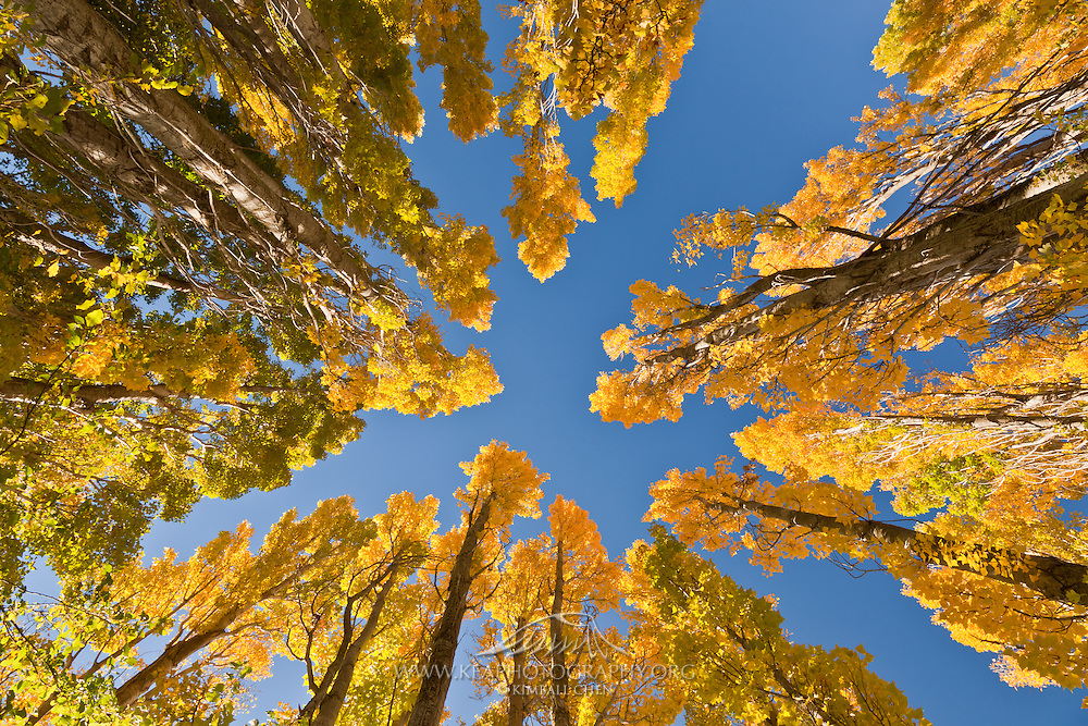 Golden poplars in the Fall, Central Otago, New Zealand