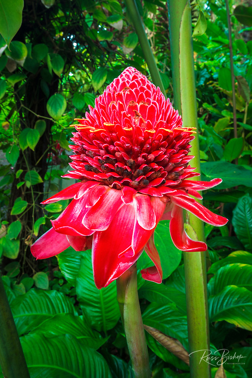 Torch ginger at Hawaii Tropical Botanical Garden, Hamakua Coast, The Big Island, Hawaii USA