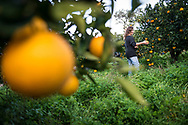 Eftychia Marathianaki is pictured collecting oranges from one of her orange groves on the Greek island of Crete . Commissioned by PR Media Co.