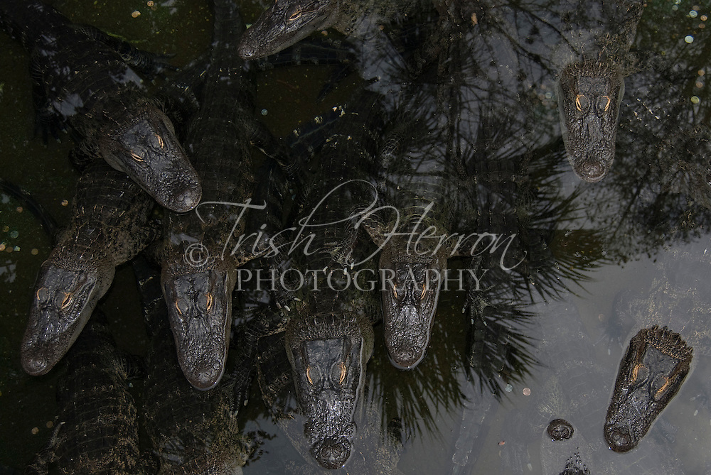 A group of American alligators lies quietly in a pond.