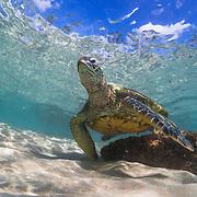 Green sea turtle near Lahaina, Maui, Hawaii.