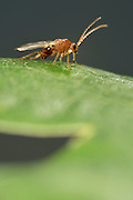 Gall wasp (Biorhiza pallida) | Schwammgallwespe (Biorhiza pallida)