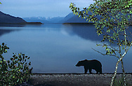 USA, Vereinigte Staaten Von Amerika: Grizzlybär (Ursus arctos horribilis), läuft am Abend am Strand vom See Naknek entlang, Katmai Nationalpark, Alaska | USA, United States Of America: Brown bear (Ursus arctos horribilis), walking in the evening along the beach of Naknek Lake, Katmai National Park, Alaska |
