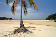 Palm tree at the beach in Chapera Island. Las Perlas archipelago; Panama province; Panama; Central America.