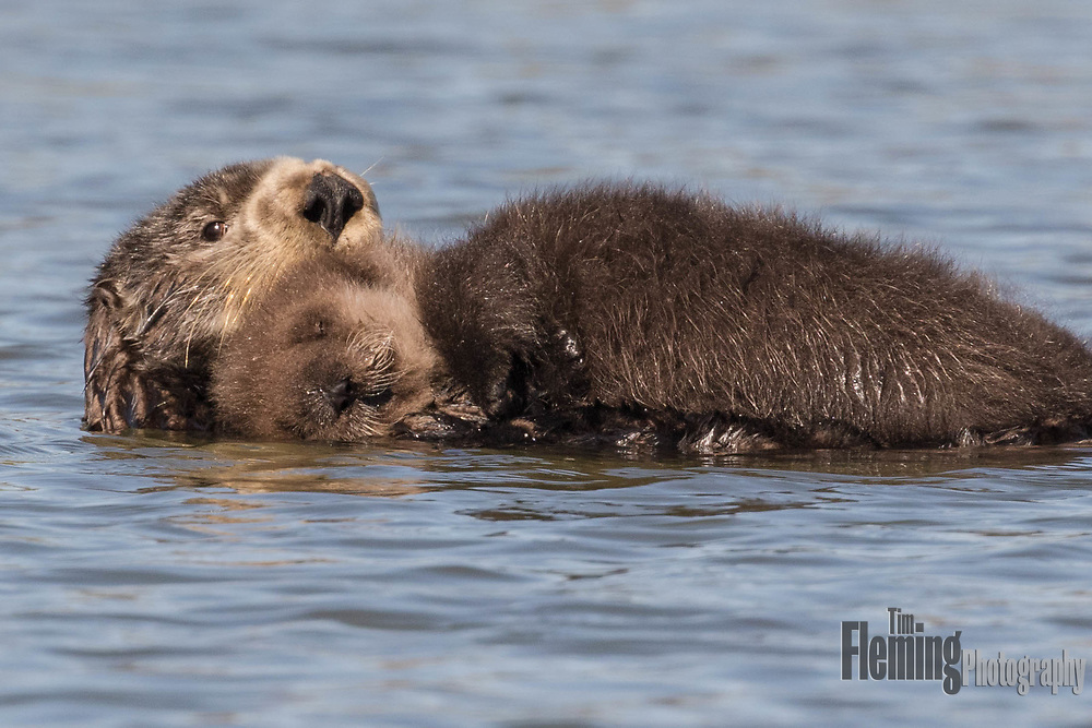 "Southern sea otter in Elkhorn Slough, near Sana Cruz, California. Their population is considered ""threatened"" under the Endangered Species Act."