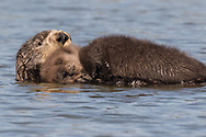 """Southern sea otter in Elkhorn Slough, near Sana Cruz, California. Their population is considered """"threatened"""" under the Endangered Species Act."""