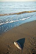 Dead talipia Coast of the Salton Sea at sunrise Imperial Valley, CA.