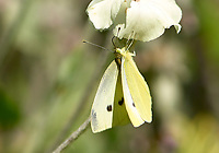 Cabbage White (Pieris rapae), Orlebar Point, Gabriola Island , British Columbia, Canada   Photo: Peter Llewellyn