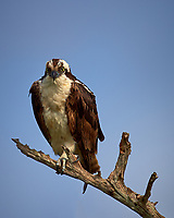 Morning Osprey Lookout at Merritt Island National Wildlife Refuge. Image taken with a Nikon D4 camera and 600 mm f/4 VR lens (ISO 100, 600 mm, f/5.6, 1/1600 sec)