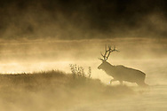 As the sun peaks over the horizon, a bull elk crosses the steaming Madison River in pursuit of his cows who stopped to graze along the shore.