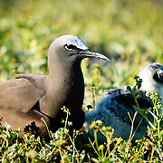 White Capped Noddies nesting on Lady Elliot Island, a coral cay on the Great Barrier Reef