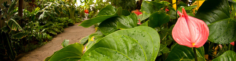 Tropical Conservatory, Anthurium 'Cotton Candy'