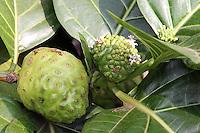 Indian mulberry, Hawaiian name: noni, Morinda citrifolia