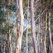 Bush View, Stands of Eucalypts against the early morning light,Margate, Tasmania
