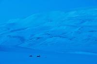 Svalbardrein hviler i snødekket landskap. Blåtime tidlig på natten på Spitsbergen, Svalbard. Mars.