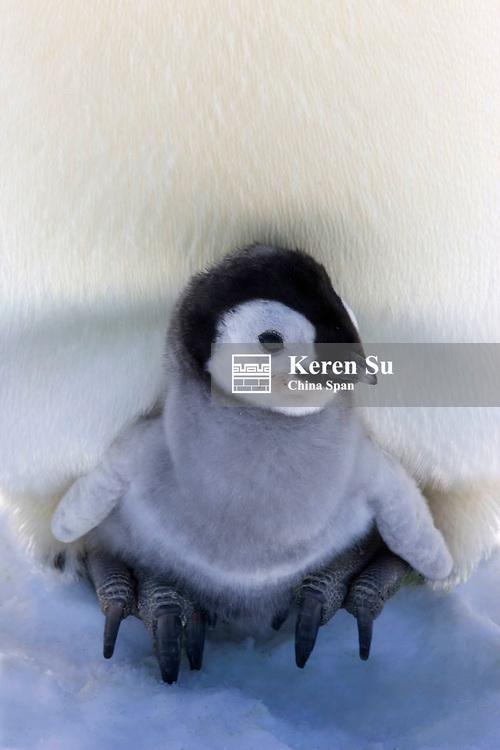 Emperor Penguin chick on parent's feet on ice, Snow Hill Island, Antarctica