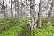 A carpet of blaeberry amidst Scots pine forest, Rothiemurchus, Cairngorms National Park, Scotland.