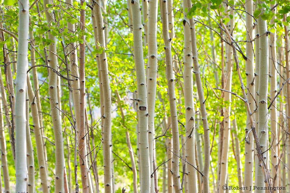 A grove of Quaking Aspen (Populus tremuloides) on Boulder Mountain in Southern Utah.