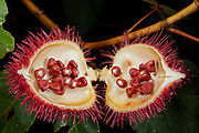 Achiote (Bixa orellana)<br /> Yasuni National Park, Amazon Rainforest<br /> ECUADOR. South America