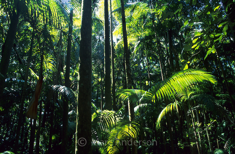 Palm trees in a tropical rainforest in Nightcap National Park, NSW, Australia..