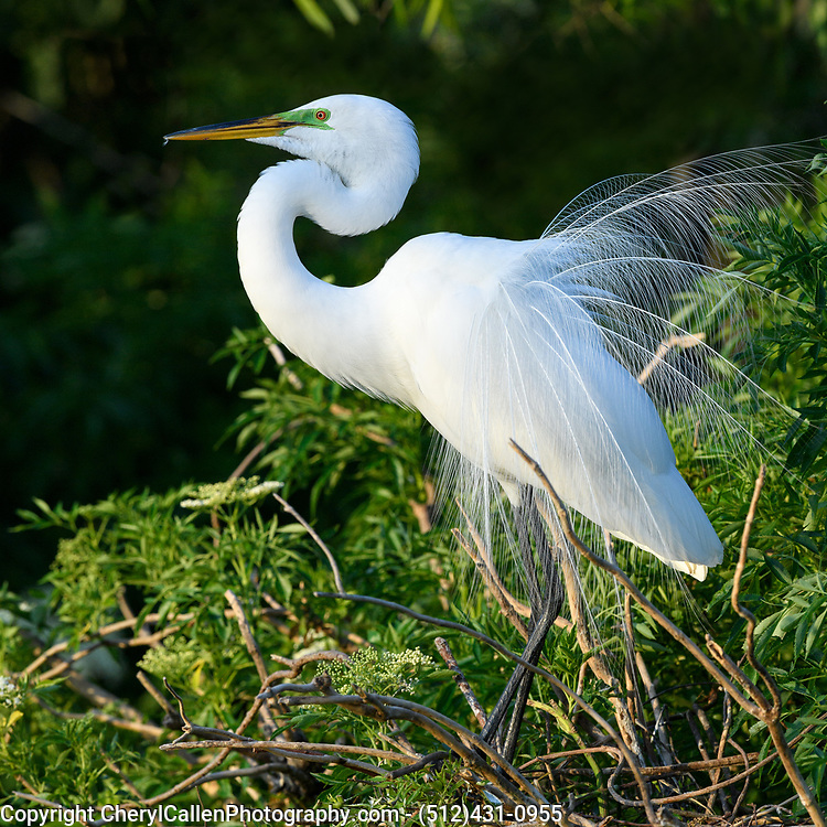 Great Egret during breeding season, showing off his plumage
