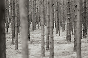 Pine forest .