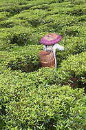 Worker picking tea at the Gunung Mas Tea Estate, Puncak, West Java, Indonesia.