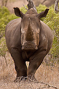 White rhino at Kruger, South Africa