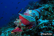 Panamic horse conch, Pleuroploca princeps, eating murex shell, Galapagos Islands, Ecuador, ( Eastern Pacific Ocean )