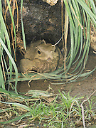 Photograph of Henry the Tuatara (Sphenodon punctatus) living at Southland Musuem, Invercargill, New Zealand.  Henry became a father for the first time at age 111.