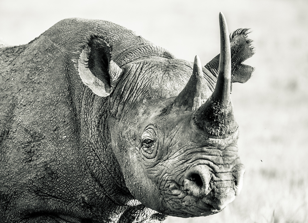 Portrait of a Critically Endangered Black Rhino